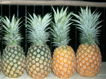 pineapple in philippines The md2 pineapple is the highest standard for fresh pineapples in the premium  fruit market it has exceptional sweetness and has consistent size uniformity.