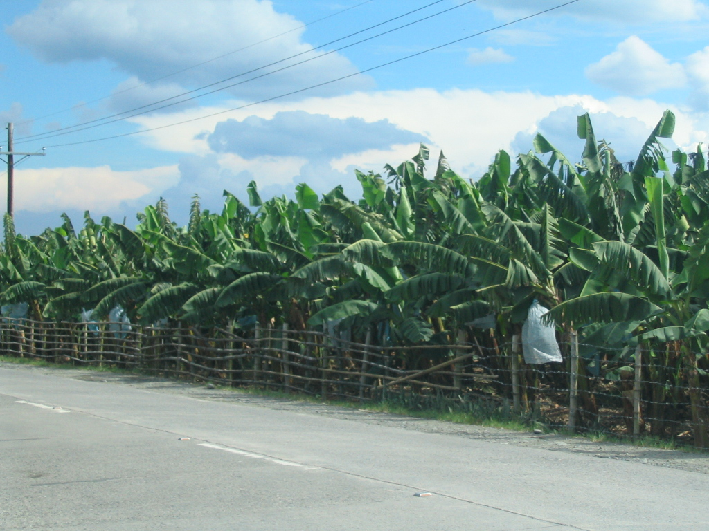 philippine cavendish banana industry