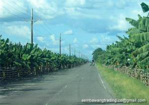 2 Banana plantation